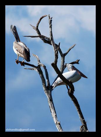 аист фауна птицы природа шри-ланки