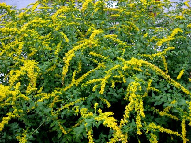 цветение золотарник кустарник