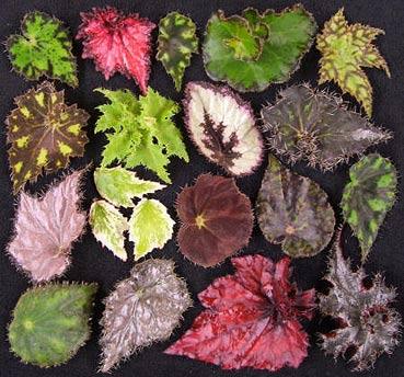 разнообразие листьев бегонии