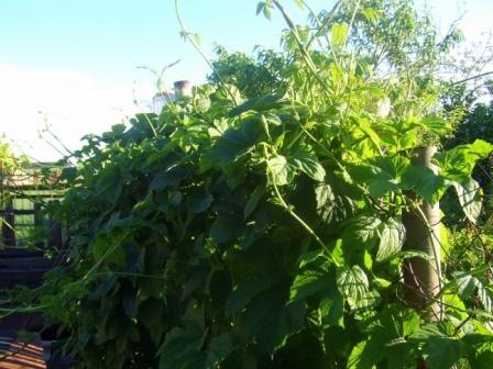 Живая изгородь из плодовых кустарников