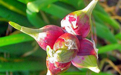 Многоярусный лук - секреты выращивания 1