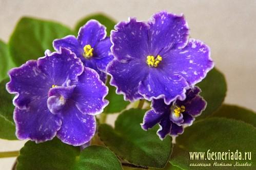 Великолепная фиолетовая фиалка