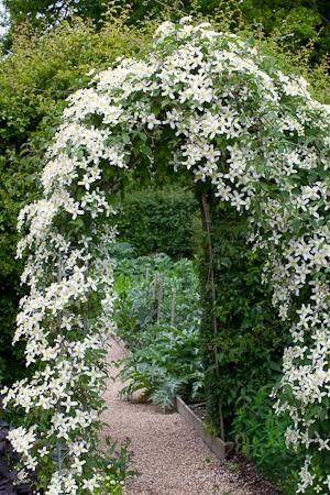 Вьющиеся растения - клематис