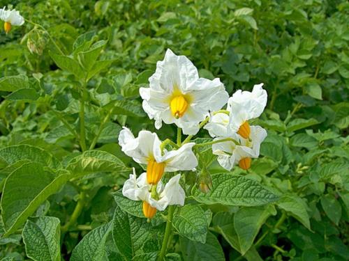 Секреты проращивания картофеля