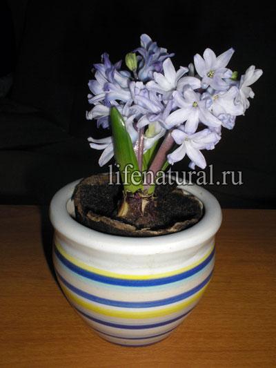 Цветущая луковица гиацинта