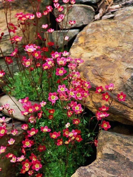 Камнеломки - одни из самых востребованных для альпийских горок растений