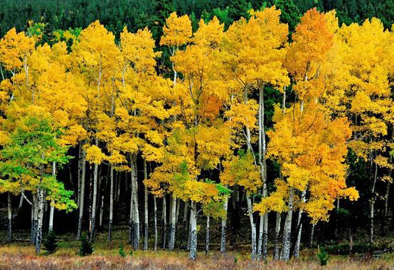 Береза осенью