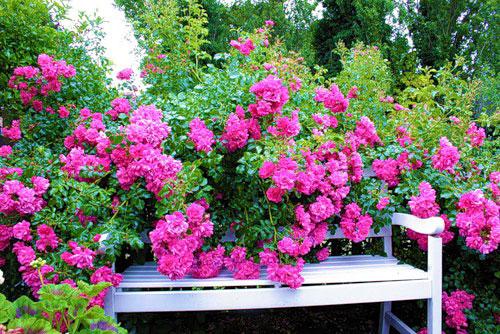 Красивые розы в саду около скамейки