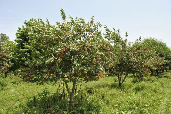 Плодовые деревья - совместимость