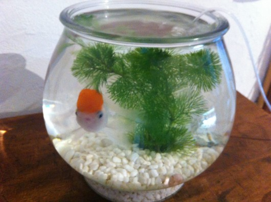 【魚沼】ひな菊洋菓子店の金魚。かわいい。