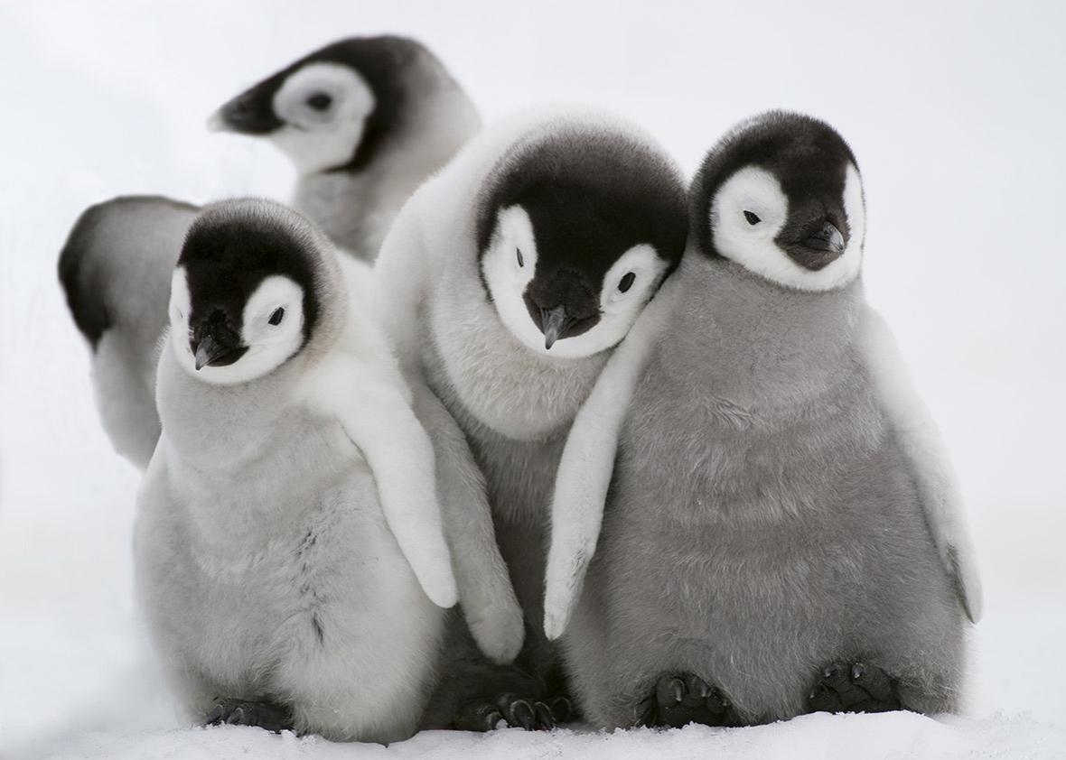 150902_WILD_CutePenguins.jpg.CROP.promo-xlarge2