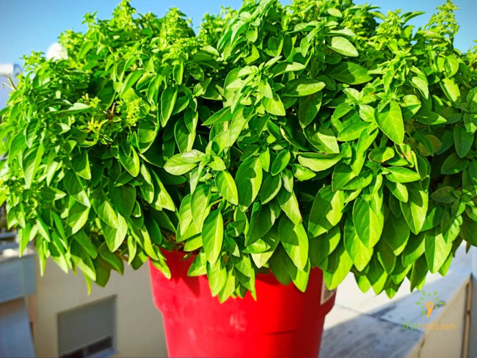 , Basil: The plant of the Kings!