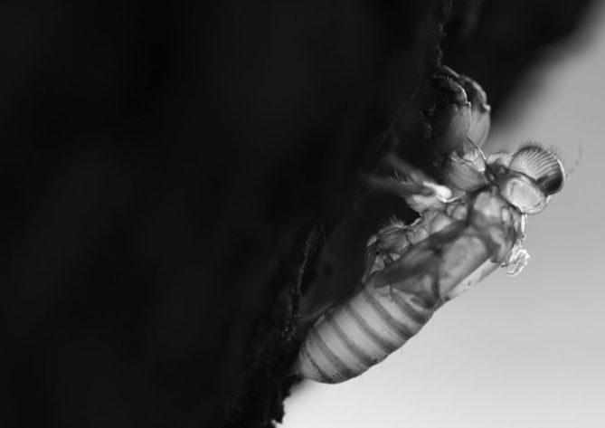 , Cicada: the summer's singer is…deaf!