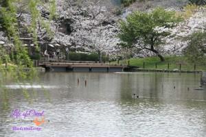 Cherry Blossoms, Kamakura Japan,