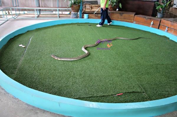 Siam Cobra Show, Phuket, Thailand, snakes
