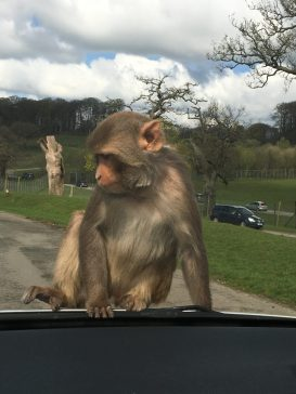 Monkey enclosure Longleat Safari Park