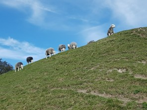 Sheep of Dover