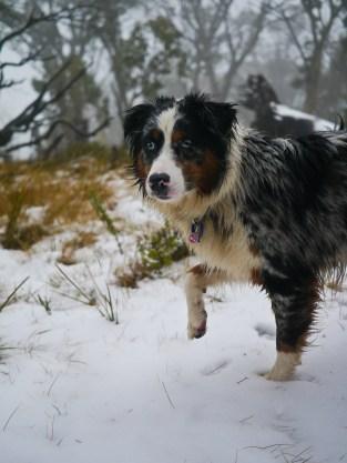 Snow-pointer-dog.