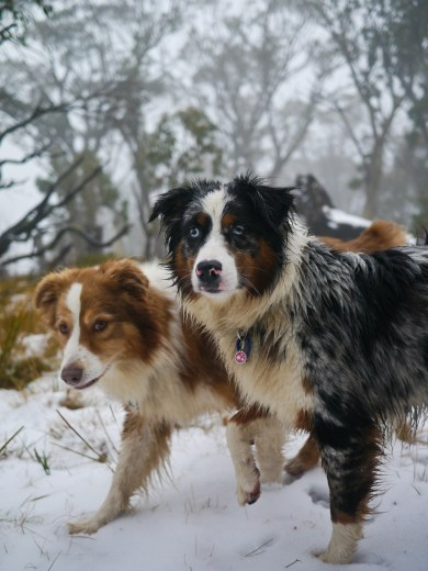 Two pretty snow dogs.