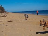 Sighthound vs. herding dog...