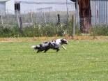 A very long, streamlined, flat-back dog.