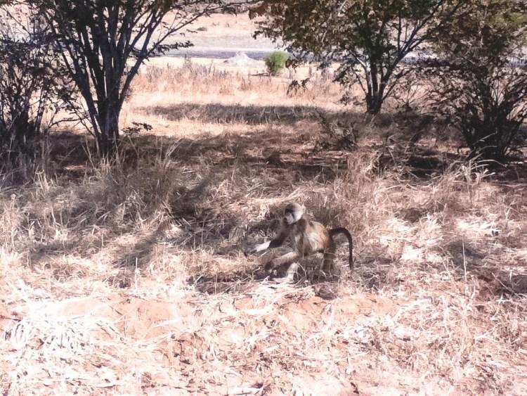 Chobe National Park, Baboons
