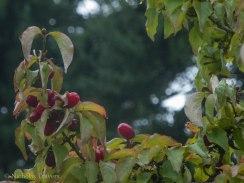 Cornelian cherries,