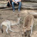 Things to see Near Brisbane, Things to do in Brisbane, Things to see in Queensland, Queensland Zoos, Places to see Kangaroos in Australia, Koalas in Brisbane Queensland, Beautiful places in Australia, Australian Zoos, Lone Pine Koala Sanctuary,