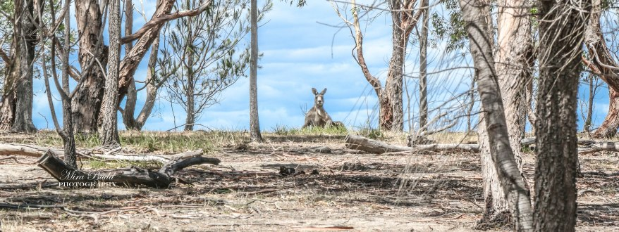 Things to See in Melbourne, Beautiful Places in Australia, Melbourne Attractions, Places to visit in Melbourne, Things to Do in Melbourne, Where to see Kangaroos in Melbourne,