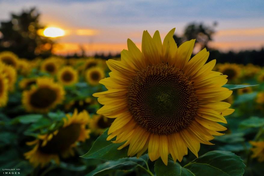 Davis Family Farm, Caledon Sunflower Fields, Sunflower Fields Toronto,