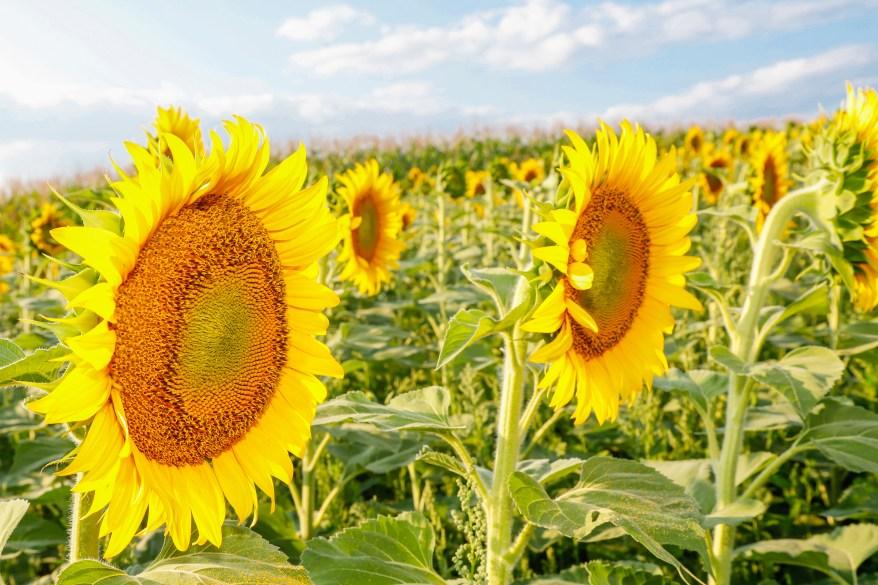 Ontario Sunflowers, Sunflower Fields Caledon, Best Sunflowers for photos,