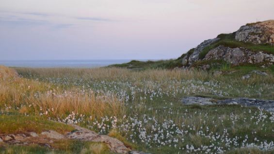The glow on the bog cotton