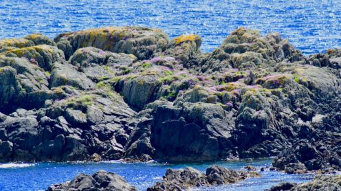 Skerry covered in sea thrift