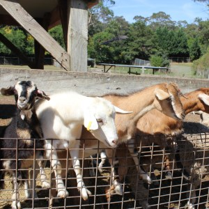 Golden Ridge Animal Farm - best animal farm experience in Sydney