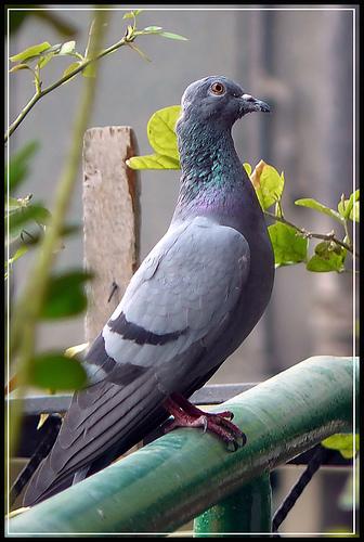 Image result for moj golub na balkonu