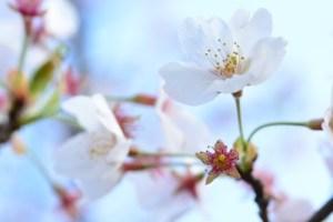 マクロの世界に初挑戦!TAMRON90mmで花の撮影に行ってきました!【桜編】