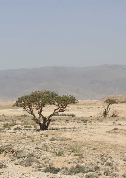 Al Baleed Resort Salalah by Anantara - frankincense tree