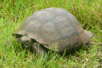 Younger tortoise with 'ridges'