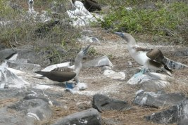 Blue Footed Boobies with eggs