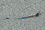Marine Iguana swimming