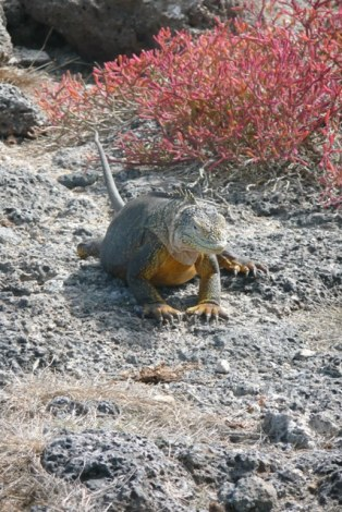 Land Iguanas in mating colours