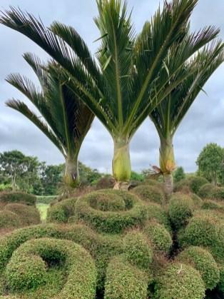 Nikau by Gardens Staff