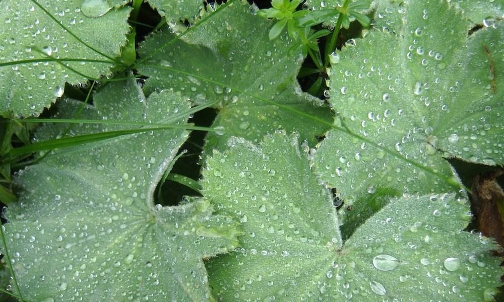 アルケミアの葉