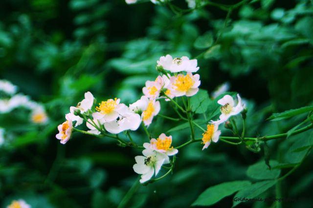 1 June 13 Wild Roses blooms