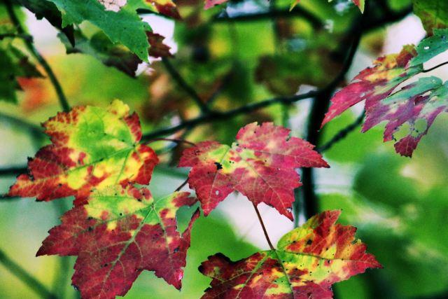 24 oct 13 maple leaves