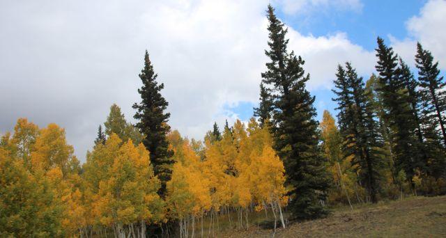 sept-2016-aspens-among-pines-6