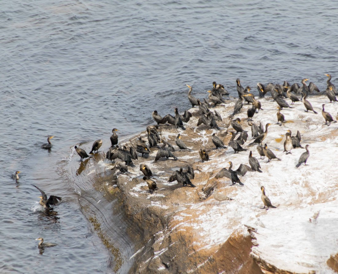 There are two types of Comorant birds on Prince Edward Island, the Great Cormorant and the Double-crested Cormorant. Here they are nesting on the coastline of Prince Edward National Park near Rustico. There are 368 species of birds recorded on PEI. Photo Credit: Wendy Nordvik-Carr
