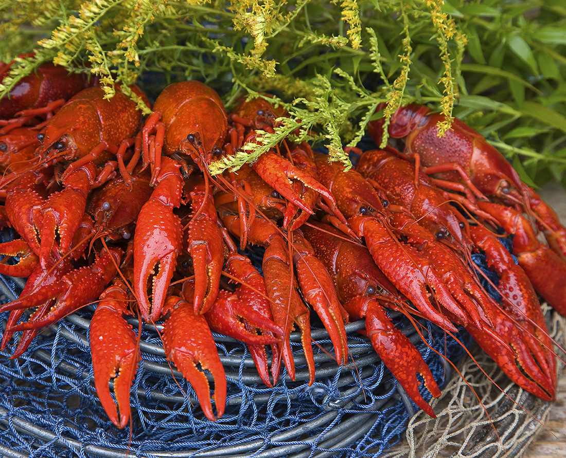 Crayfish - traditional foods of Finland. Photo Credit: Vastavalo Jorma Jamsen, Visit Finland.