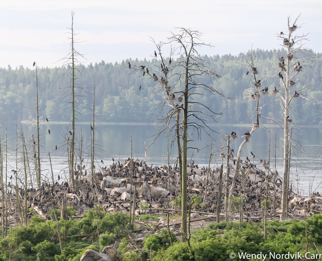 The world's largest group of islands in Archipelago National Park vary in size. The number of great cormorants have increased over the years and in some areas you can see the result of their colonization. The guano (bird poop) is destroying plant life. Photo Credit: Wendy Nordvik-Carr
