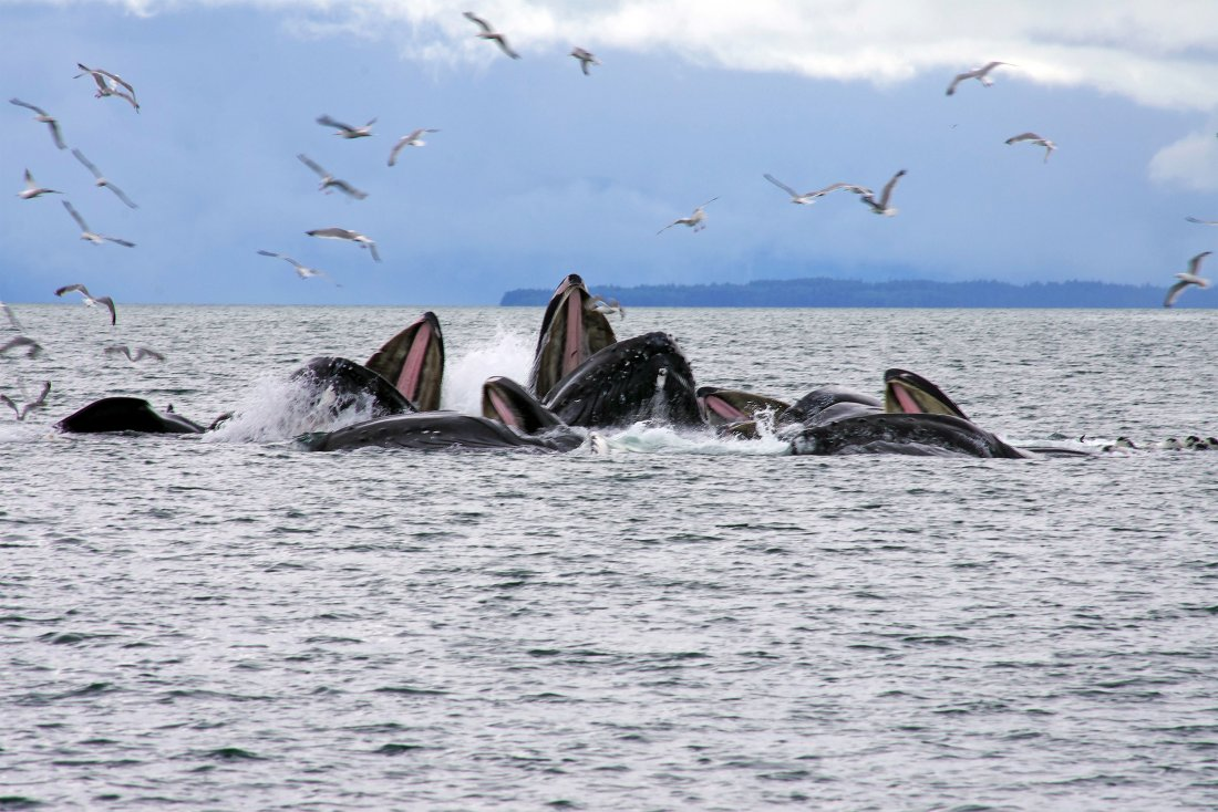 Take a whale watching shore excursion. It is one of the top things to do in Juneau, Alaska Photo Credit: State of Alaska, Reinhard Pantke©